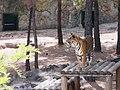 Gaziantep 2012 - Hayvanat bahçesinde kaplan - panoramio.jpg