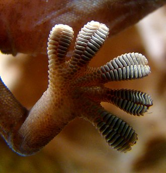Seta - Close-up of the underside of a gecko's foot as it walks on vertical glass