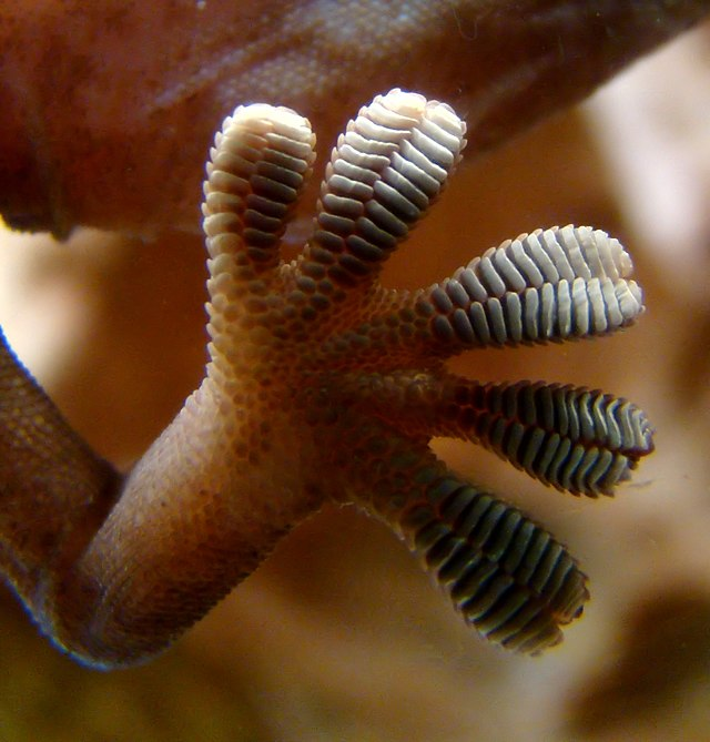 Close up of gecko foot - Wikimedia (Gecko foot on glassCC BY-SA 3.0 Bjørn Christian Tørrissen - Own work by uploader, http://bjornfree.com/galleries.html)