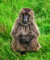 Gelada Baboon Posing, Simien Mtns (13910368973).jpg