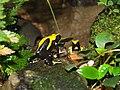 Gelb-schwarzer-Färberfrosch1.jpg
