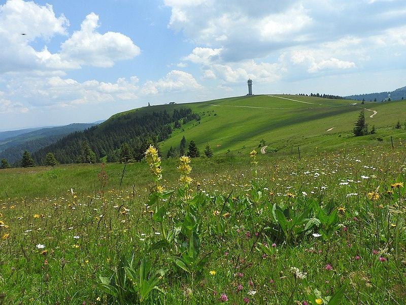 File:Gelber Enzian (Gentiana lutea) 02.jpg