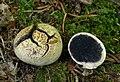 Gemeiner Kartoffelbovist Scleroderma citrinum.jpg