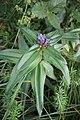 Gentiana cruciata, familija Gentianaceae 02.jpg