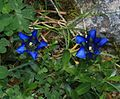 Gentiana sp. - Flickr - S. Rae.jpg