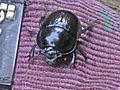 Geotrupes stercorosus (Geotrupidae sp.), Doorwerth, the Netherlands - 3.jpg