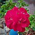 Geranium Flower 153535.jpg