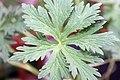 Geranium pratense Mrs Kendall Clark 3zz.jpg