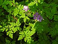 Geranium robertianum 3 RF.jpg