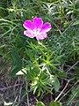 Geranium sanguineum sl17.jpg