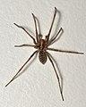 Giant House Spider (Eratigena atrica) - Oslo, Norway.jpg