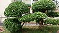 Giant bonsai.jpg