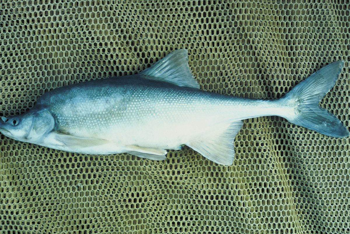 Humpback chub wikipedia for Gila river fishing