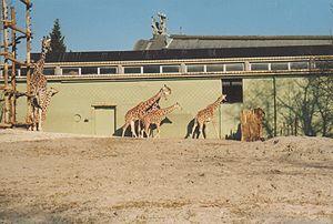 Diergaarde Blijdorp - Giraffes and monumental building