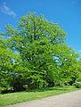 Gleditsia triacanthos tree.jpg