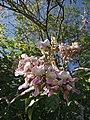 Gliricidia sepium (Fabaceae) 01.jpg