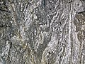 Gneiss (Archean; Norris South roadcut, Madison County, Montana, USA) 1 (44615256485).jpg