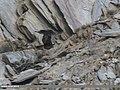 Golden Eagle (Aquila chrysaetos) (34059625396).jpg