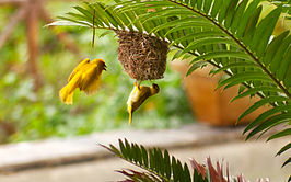 Golden Palm Weaver 2.jpg