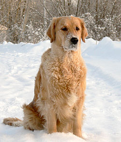 Golden Retriever Reggy.jpg