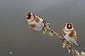 Goldfinch pair (8750215987).jpg