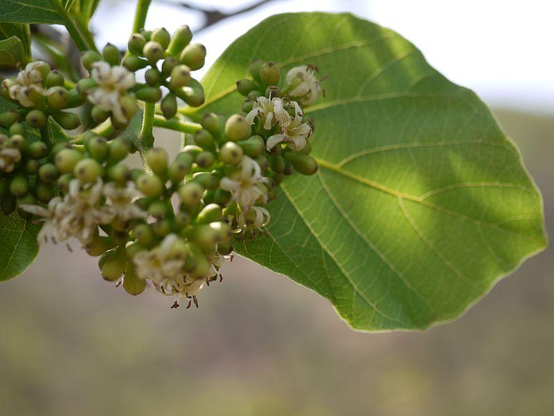 File:Gondhan (Marathi- गोंधण) (5506112332).jpg