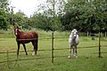 Good Easter, Essex, England ~ horse and pony in paddock 02.JPG