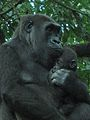 Gorilla gorilla at the Bronx Zoo 008.jpg
