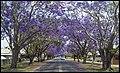 Grafton Street Jacaranda-02 (22653864922).jpg