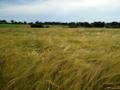 Grain 1 WMC.png
