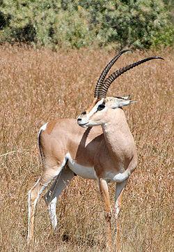 Gazelle de Grant mâle