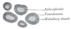 Histology - Lectures 13/14 - Nerves Flashcards - Cram.com