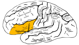 Gray726 inferior frontal gyrus.png