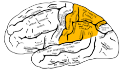 Gray726 parietal lobe.png