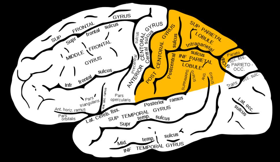 Gray726 parietal lobe