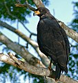 Great Black Hawk (Buteogallus urubitinga) (29128108436).jpg