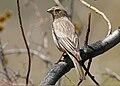 Great Rosefinch (Carpodacus rubicilla) (33195696371).jpg
