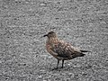 Great Skua - Iceland - panoramio.jpg