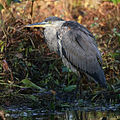 Great blue heron in a marsh.jpg