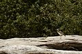 Great thick-knee (Esacus recurvirostris) from Ranganathittu Bird Sanctuary JEG4128.JPG