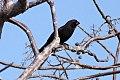 Greater Antillean Bullfinch (Loxigilla violacea) (8082761196).jpg