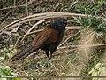 Greater Coucal (Centropus sinensis) (33724720173).jpg