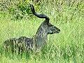 Greater Kudu (Tragelaphus strepsiceros) male resting in the grass ... (51119623180).jpg