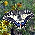 Greek Butterfly on Flower.JPG