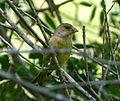Greenfinch Chloris chloris - Flickr - gailhampshire.jpg