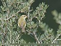 Greenish Warbler (Phylloscopus trochiloides) (43950972950).jpg