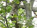 Greenwich Park, parakeet's nest - geograph.org.uk - 1540543.jpg