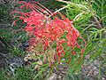 Grevillea 'Ned Kelly'.jpg