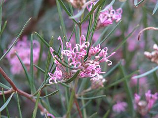 <i>Grevillea gariwerdensis</i> species of plant