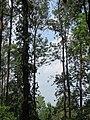 Grevillea robusta - silver oak in Wayanad (1).jpg
